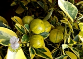 [斑葉金桔樹 花金桔盆栽 金桔檸檬原料] 7-8吋活體果樹盆栽 送禮小品盆栽 室外植物
