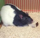 CGD-5 老鼠兔子磨牙木塊  寵物潔牙塊 齧齒類動物磨牙 天然磨牙木塊 美國寵物第一品牌LIXIT® 立可吸