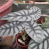 花花世界__室內植物--白武士觀音蓮--葉片油亮/5/6吋盆/高30-40cm/Ts