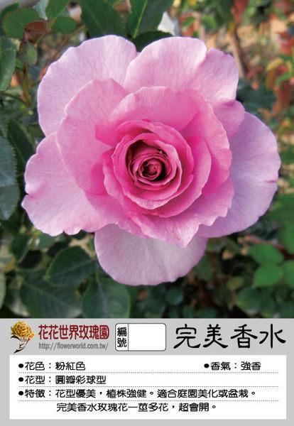 花花世界_玫瑰苗--完美香水,Perfume Perfection--一莖多花 /4吋盆苗/高10~30公分/Tm