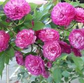 花花世界_玫瑰苗--葡萄園之歌,像一串葡萄--微香/4吋盆苗/高10~30公分/Tm