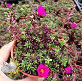 [紫米粒] 活體多肉植物 3吋多肉植栽 組合盆栽 半日照佳 送禮首選小盆栽