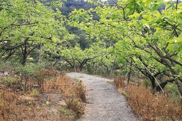 [台中]採果體驗-東新觀光果園(梨子、柿子、柑橘)