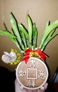 [吉祥如意/招財進寶]雙面開運竹水耕盆栽 活體萬年青盆栽 室內辦公室盆栽 開幕喬遷開店賀禮