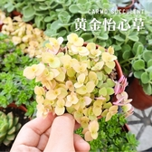 CARMO黃金怡心草爆盆多肉植物成株(3吋)【Z0128】