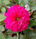 指定顏色 [粉色]小玫瑰小薔薇盆栽  3...