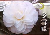 [冬雪峰茶花苗] 3吋 新品種觀賞茶花盆栽 活體花卉盆栽 半日照 需換盆才會比較快開花