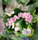季節限定~先確認有沒有貨!!! [[重瓣]] 非洲堇 非洲菫] 3寸盆 多年生觀賞花卉盆栽 半日照佳