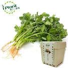 iPlant積木農場-香菜...