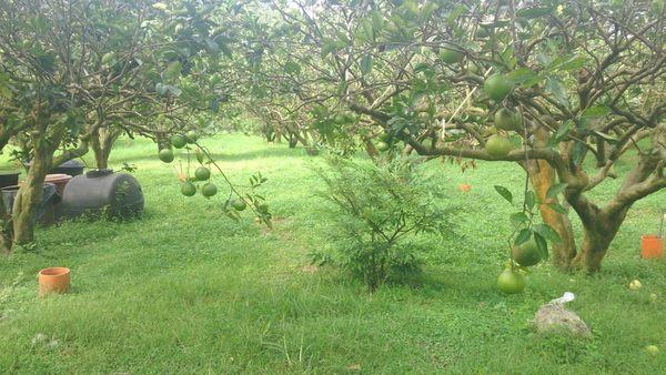 10月接枝 蜜寶★花蓮友善栽種12台斤 甜的葡萄柚 接枝的比較好吃