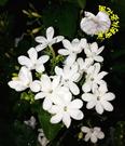 6/28幾乎都沒花了![滿天星茉莉花 星星茉莉花 迷你茉莉花盆栽 ] 6吋盆香花植物盆栽 開花很香