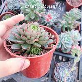 〔一物一拍〕CARMO超紅邊大和美尼多肉植物成株(3吋)【XB40】