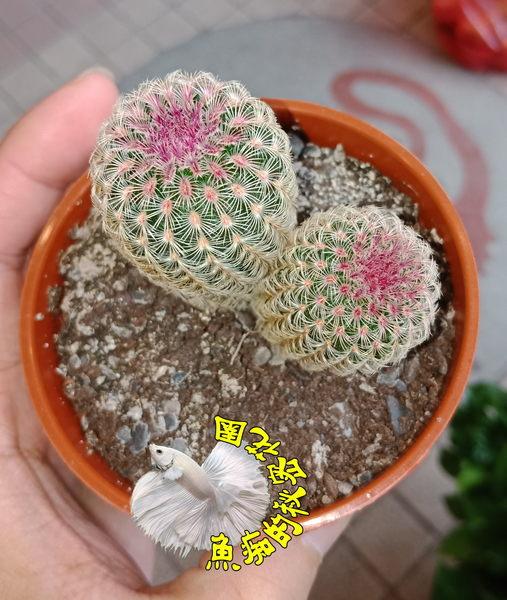 [ 2頭紫太陽 金太陽仙人掌 ] 活體多肉植物 3吋盆仙人掌盆栽 要曬太陽顏色才會深 會開大花