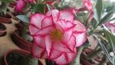 ** 沙漠玫瑰-不分花色 ** 3吋盆/高10-20cm OvO