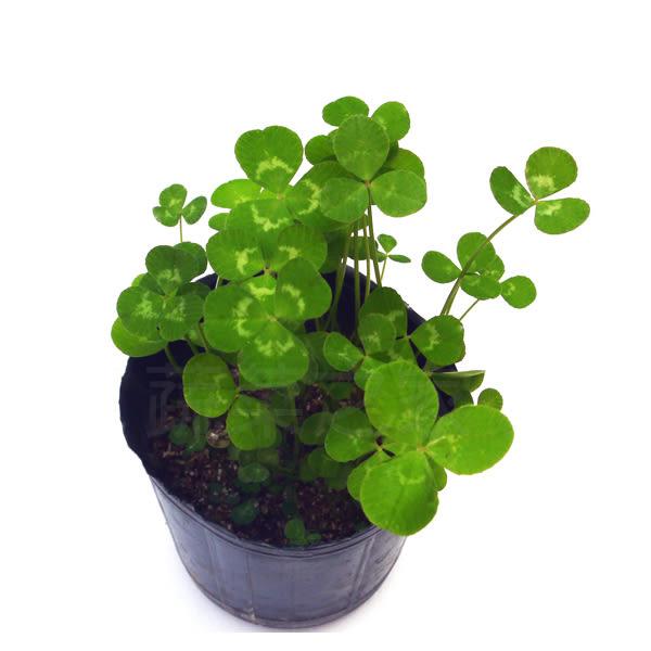 【綠藝家】幸運草(白花三葉草)種子1公斤
