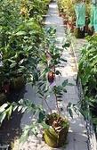 花花世界_水果苗--大巨紅水晶樹葡萄--又稱為嘉寶果/8吋盆/高60-80公分/Ts
