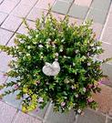 [雙色雪茄花] 多年生室外植物 5-6吋活體花卉盆栽 送禮小品盆栽