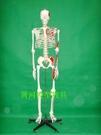 170CM人體骨骼模型半邊肌肉著色編碼成人一比一比例人體骨骼標本