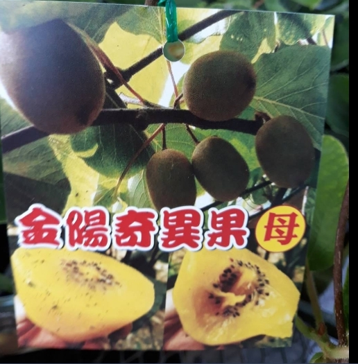 水果苗 ** 金陽奇異果(母) ** 4.5吋盆/ 高20-40公分/ 維他命C【花花世界玫瑰園】S