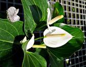 純白色火鶴盆栽5 吋活體盆栽送禮小品盆栽室內植物