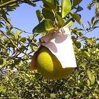 認養.老欉柚樹 ★花蓮鶴岡無毒農業 中秋國柚