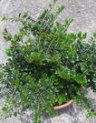 花花世界_常綠喬木--**翠米茶**--油葉茶/6吋盆/高55-30cm/TS