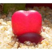 CARMO紅色毛漢尼種子(10顆裝) 肉錐種子【E34】