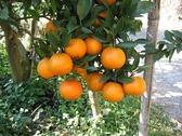 [台中]採果體驗-公道農園(柑橘、檸檬)
