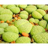 ⓒ黃微紋玉C363種子(10顆裝) 多肉植物/生石花種子【K23】