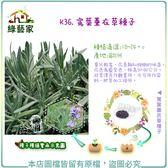 【綠藝家】K36.寬葉薰衣草種子