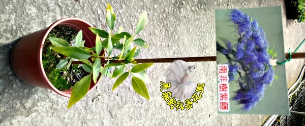 4-5吋盆 [南非樹紫藤花活體盆栽] 室內辦公室盆栽 開幕喬遷開店賀禮 送禮首選