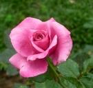 花花世界_玫瑰苗--超特價商品 玫瑰苗無標品,不挑品種--/3.5吋盆苗/高15-20公分/Tm