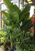 花花世界_襯景植物--旅人蕉--常綠草本植物/一尺盆/2米高 /Ts