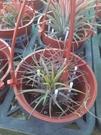 花花世界_空氣鳳梨--小精靈福果--**懶人適合的植物**/3吋盆/高30~40CM/TC