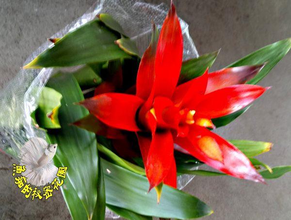 [紅色 大擎天鳳梨花盆栽] 鴻運當頭 室內植物 5-6吋活體盆栽 送禮小品盆栽