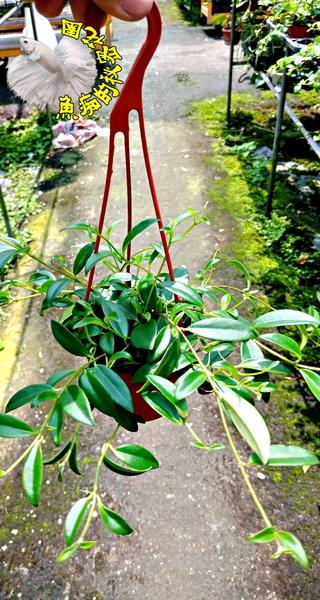 [口紅花吊盆] 3寸盆 室內多年生觀葉植物盆栽 半日照佳