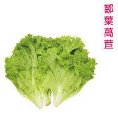 預購 【安心蔬食】水耕蔬菜-皺葉萵苣(150g)