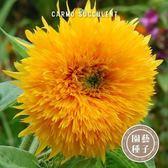 CARMO重瓣玩具熊向日葵種子 園藝種子(10顆) 【FR0020】