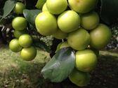 [高雄]採果體驗-大山元農場〔蜜棗、芭樂〕