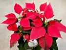 紅色聖誕紅 [紅輝聖誕紅] 5吋盆 室內植物活體盆栽  半日照佳 聖誕節禮物盆栽