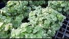花花世界_香草植物--斑葉金錢薄荷--觀...