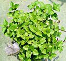 [ 柳橙薄荷盆栽 ] 5-6吋盆活體盆栽...