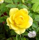 指定顏色 [黃色]小玫瑰小薔薇盆栽  3吋盆活體盆栽