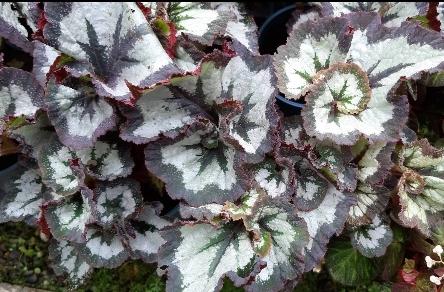 花花世界_綠籬植物--鍋牛侏儸紀海棠--植物中最多樣化/5吋盆/高15公分/Ts