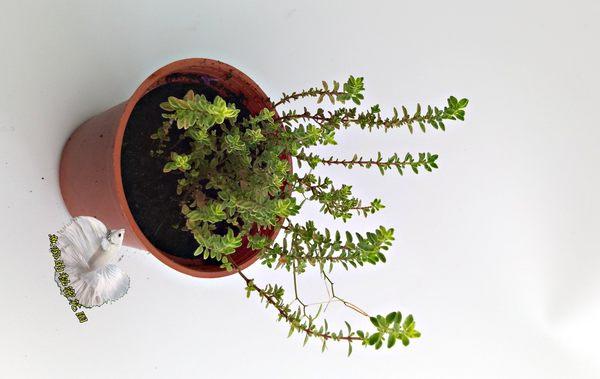 香草植物 檸檬百里香盆栽 檸檬味 3吋盆活體盆栽, 可食用可泡茶