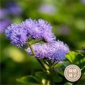 CARMO藿香薊種子 園藝種子(200顆)【FR0030】