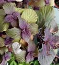 5吋盆 [大紅紫蘇盆栽 可以醃梅子或生吃等等 ] 活體香草植物盆栽, 可食用.料理或泡茶~半日照佳~