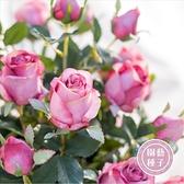 CARMO 粉白色系法國玫瑰種子 園藝種子(5顆) 【FR0040】