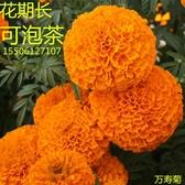 花卉種子 菊花種子 萬壽菊種子驅蚊觀花種子太陽花波斯菊 花種子四季種易活-凡屋