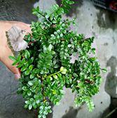 活體 [胡椒木 胡椒樹] 室內室外植物 3吋盆栽 送禮小品盆栽